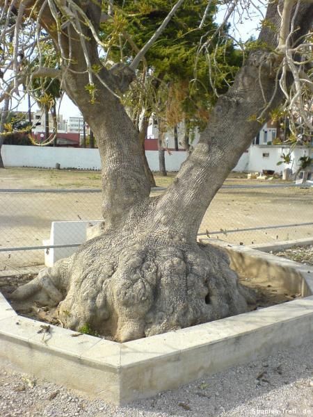 Baum mit knolligen Wurzeln?
