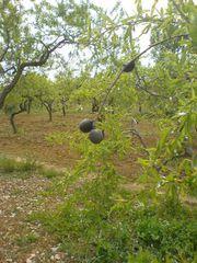 Baum mit Frucht