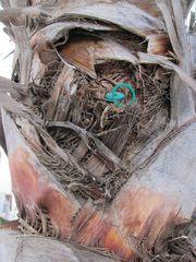 Impföffnung einer Palme gegen den Roten Palmrüssler