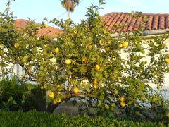 Citronenbaum