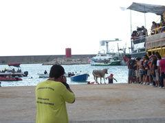 Kuh jagt Mann in das Wasser