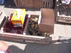 Enten-Küken zu verkaufe