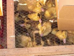 Enten-Küken zu verkaufen