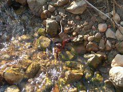 Flusskrebs