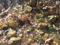 Flusskrebse im Wasser