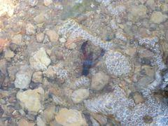 Flusskrebs im Wasser
