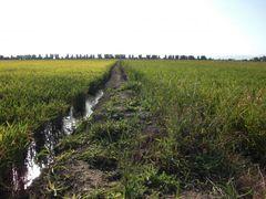 Reisfeldbekrenzung