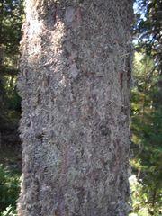 Flechten am Baum.