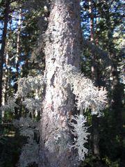 Große Flechten am Baum