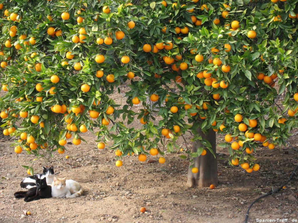 Katzen unterm Apfelsinenbaum