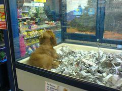 Cocker Spaniel Hunde-Welpe in der Supermarkt Zoohandlung