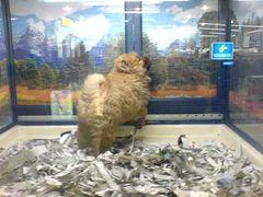 Spitz Hunde Welpe in der Supermarkt Zoohandlung