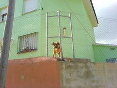 Wachhund am Haus
