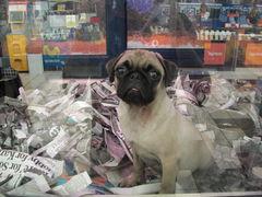 Mops-Welpe in der Supermarkt-Zoohandlung