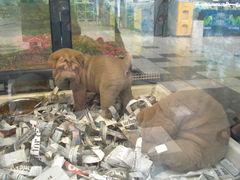 Shar Pei-Welpen in der Supermarkt-Zoohandlung
