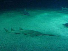 Säge-Hai
