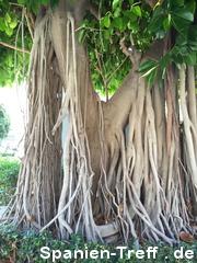 Gummibaum, Ficus